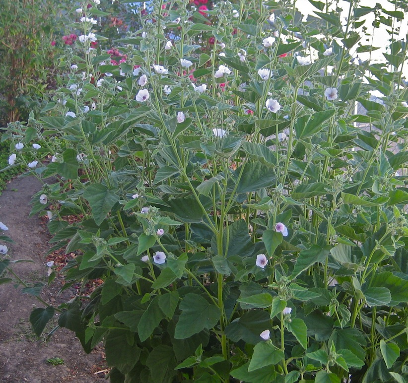 how to grow marshmallow plant