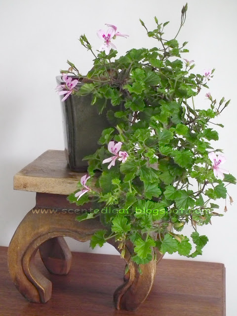 Scented pelargonium (geranium) Marie Thomas trained in cascade bonsai style