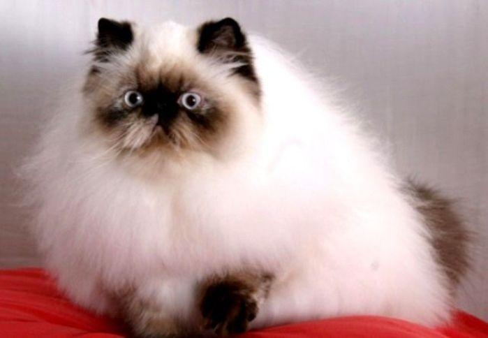 Gambar Kucing Persia Himalaya lagi bengong
