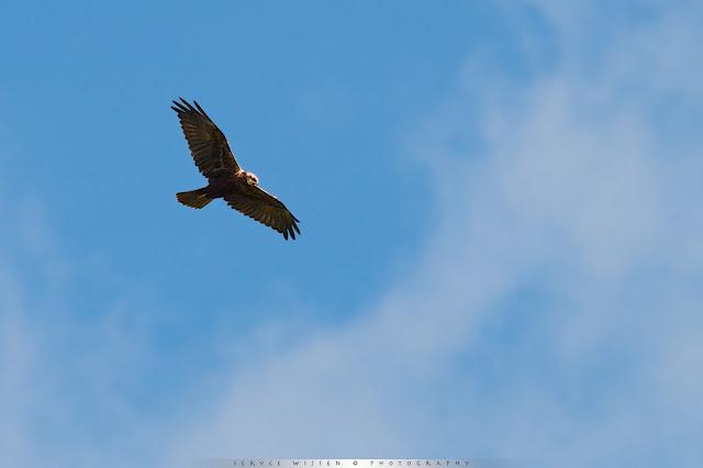 Bruine Kiekendief - Marsh Harrier - Circus aeruginosus