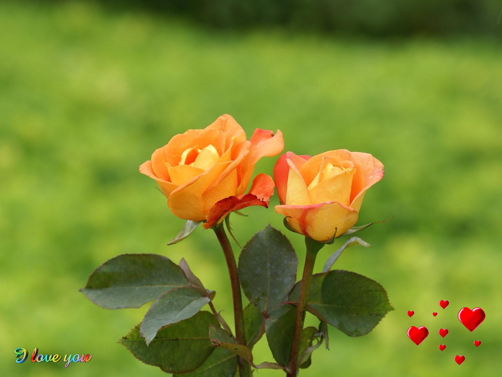 Arti dari 6 Warna Bunga Mawar - 私 の ブ ロ グ ^_^