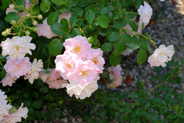 Il mondo in un giardino come e quando potare le rose for Potare le rose