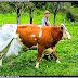 Reguli stupide impuse de UE - vaci cu scutece uriase