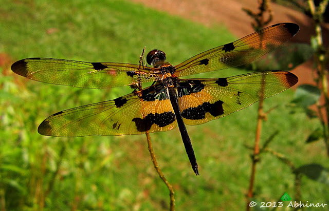 Common Picture Wing Dragonfly (Male)