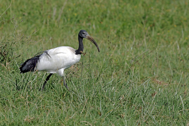 Buy stretched canvas print of Sacred Ibis