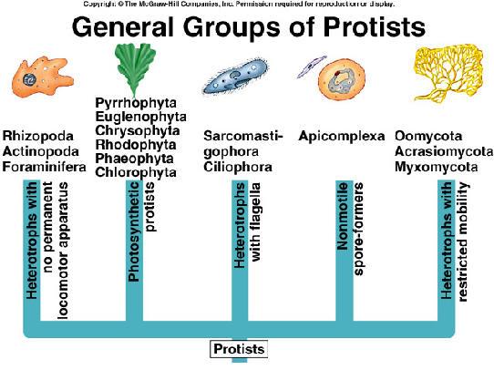 Clasificaci  243 n delos seres vivosKingdom Protista