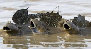 نطاط الطين - الأسماك البرمائية
