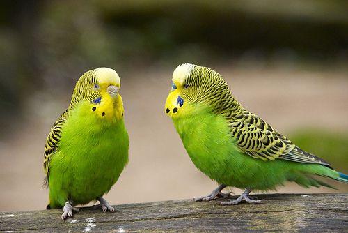 صور طيور البادجي ، طائر البادجي الاسترالي
