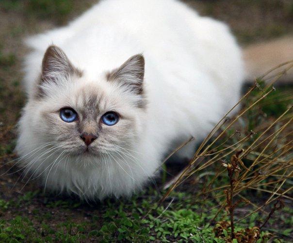 birman kitten pictures - photo #11