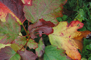 Oak leaved hydrangea gives a great autumn show