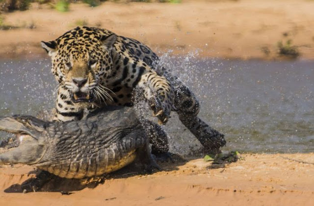 jaguar who turned into jaws 05 Video Dan Gambar Pertarungan Sengit Jaguar Dan Buaya