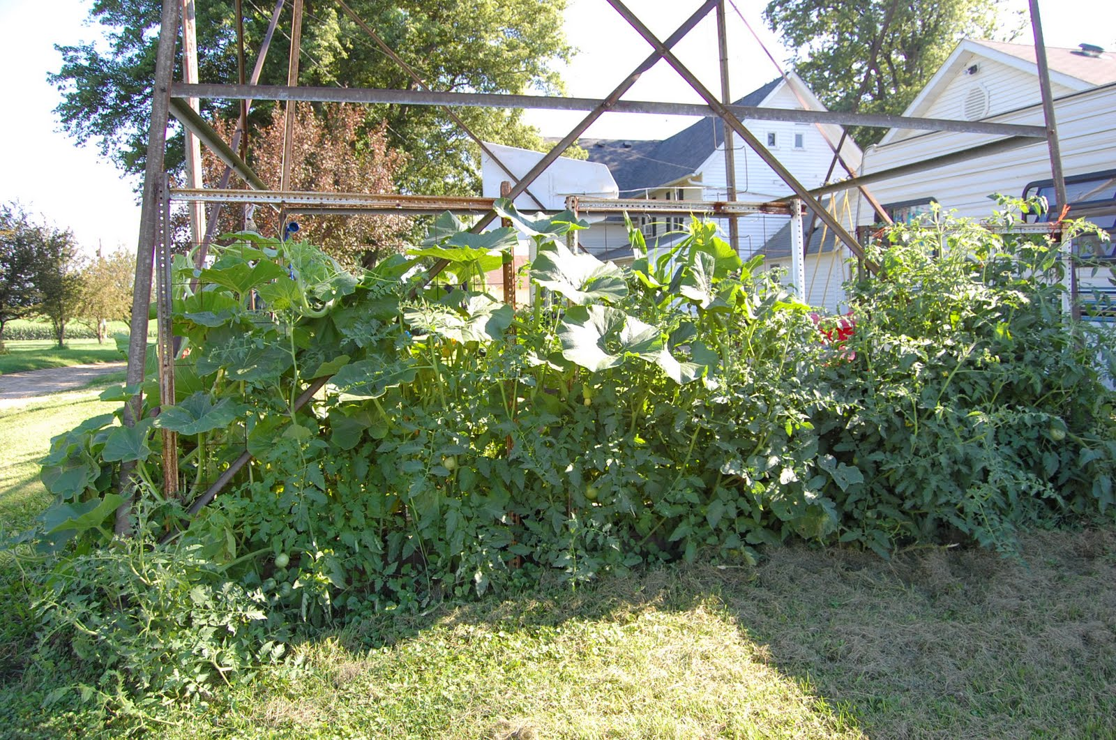 The Pumpkin On The Left Is Taking Over That Whole Side Of The Garden. The  Tomatoes Are As Tall As I Am In Some Cases And Have Fruit.