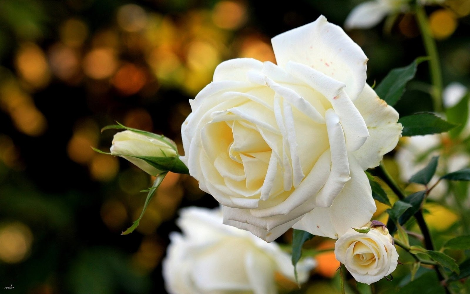 White Rose Widescreen Wallpaper