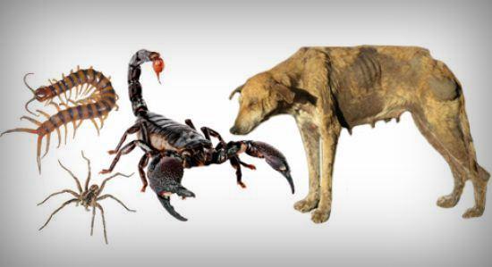 Lipan, laba-laba, kalajengking dan anjing