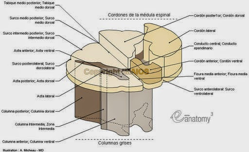 Portal de Neurocirugía: Anatomía de la Médula Espinal