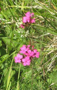 Dianthus carthusianorum; (Garofano dei certosini)