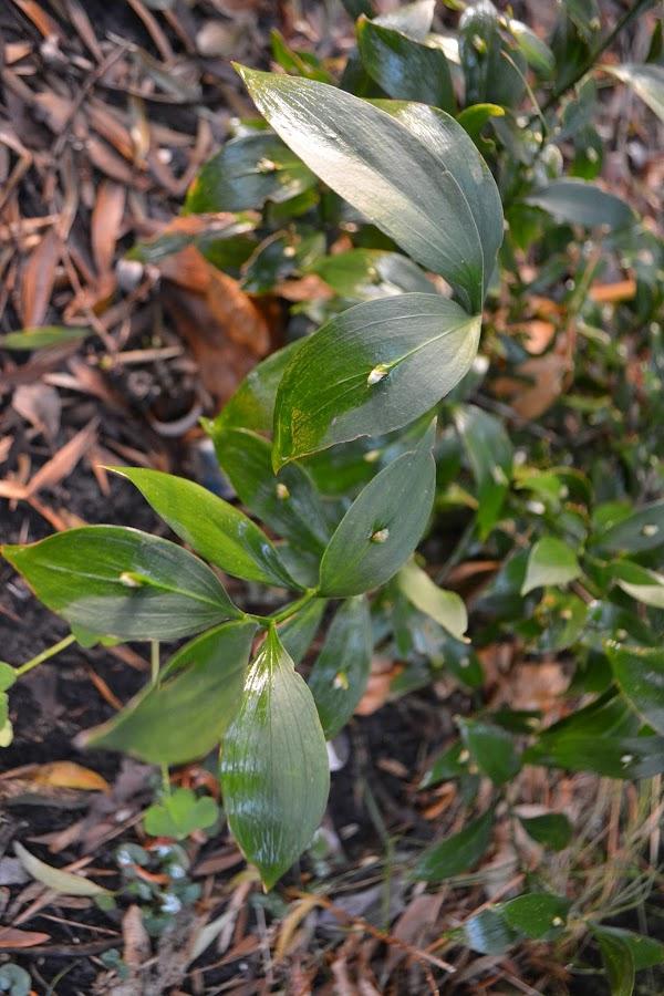 Arboles de hoja perenne y crecimiento rapido for Arboles crecimiento rapido hoja perenne