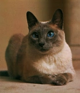 siamese cat color pets kitten animal domestic