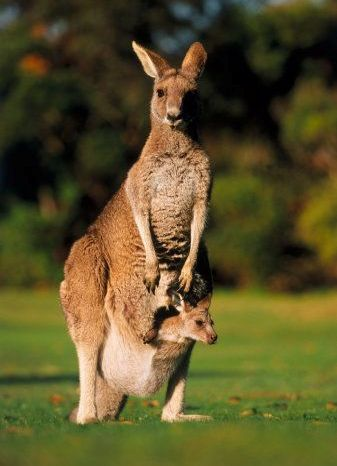 kanguru.jpg