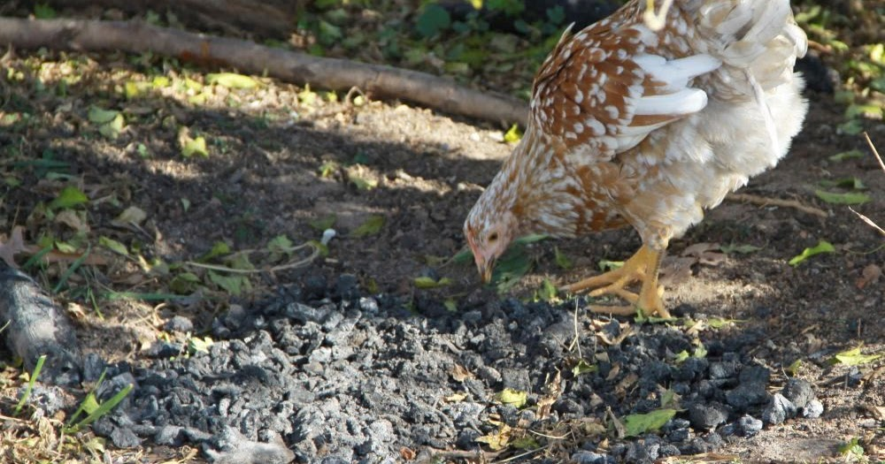 Natural Way To Rid Chickens Of Lice And Mites