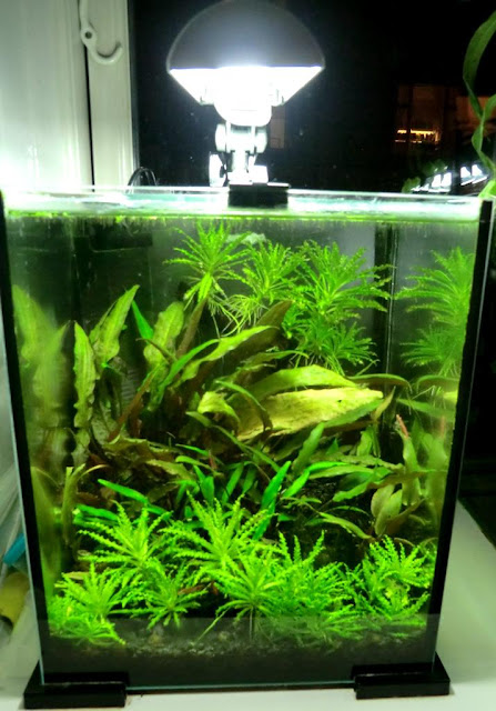 the fishtank dwarf puffer tank 5 gal nano tank. Black Bedroom Furniture Sets. Home Design Ideas