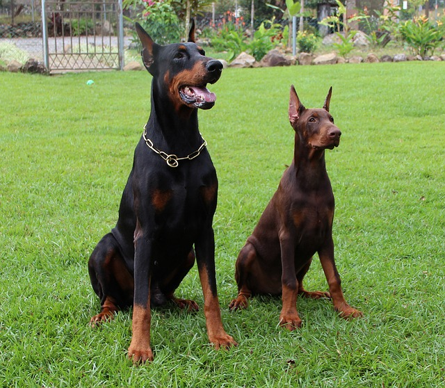 gallery for gt american doberman pinscher