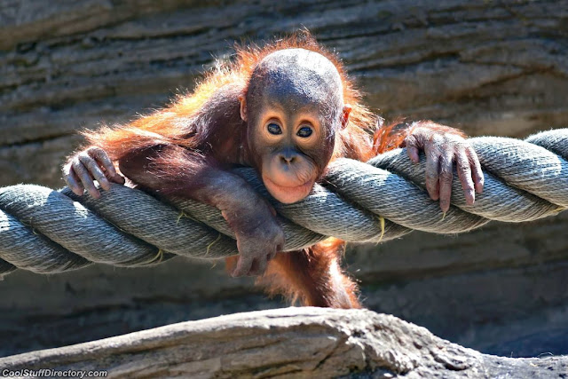 The Monkey baby on a rope in the Moscow zoo