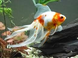 Kumpulan Ikan Koki Hias Air Tawar Tercantik