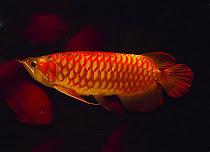 Ikan Hias
