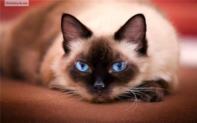 почему мурчат коты