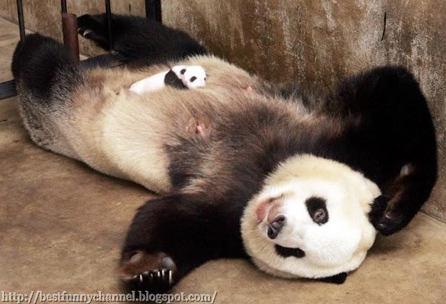 Two cute pandas.