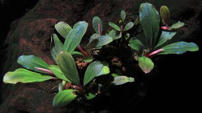 Картинки по запросу Bucephalandra sp. Copi Susu, Kalimantan