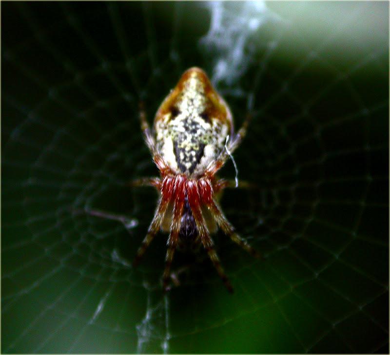 Arachnerds trash line spider cyclosa conica for Extra mural cemetery brighton