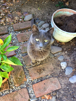 Senior Russian blue cat watching the peppers in the garden