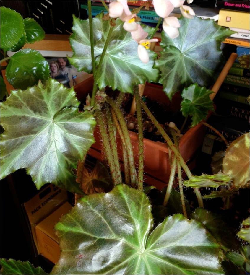 Plantas de interior - Begonia Immense