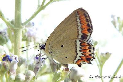 Sorrel Sapphire Butterfly
