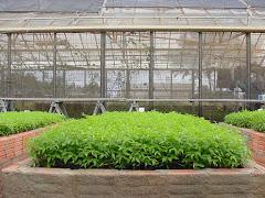 O potencial de germinação das sementes de imbu