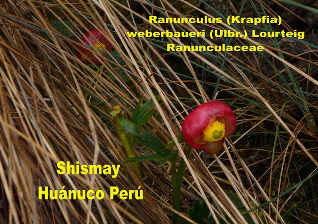 El Ranúnculo Rojo de Shismay (Ranunculus (Krapfia) weberbaueri (Ulbr.) Lourteig)