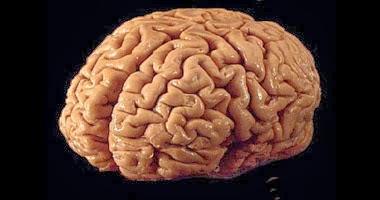أدمغة الأشخاص الاجتماعيين وذوى الصداقات الواسعة أكبر من غيرهم  ,الدماغ,المخ,العقل ,brain