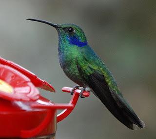 Burung Kolibri burung yang busa di temukan di benua Amerika , Terutama di Amerika Tengah dan Amerika Selatan. Burung kolibri kadang kala dikelirukan dengan ngengat rajawali karena ukuran dan cara terbangnya yang serupa saat berada di dekat bunga.