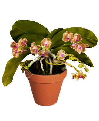 Phalaenopsis Chibae [Anggrek species]