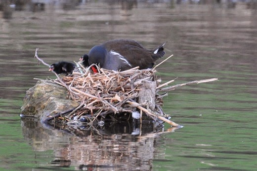 moorhen and moorhen chicks in the nest