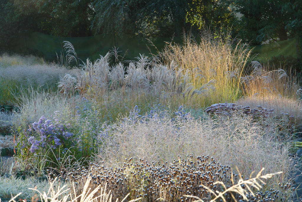 Knoll gardens blog ornamental grasses for Tall grass garden