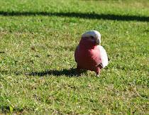 Lorito australiano, cabeza blanca, pecho rojo y alas grises