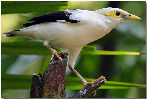 Foto Burung Jalak Putih Jantan