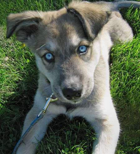 german shepherd husky mix puppy german shepherd rottweiler mix puppies