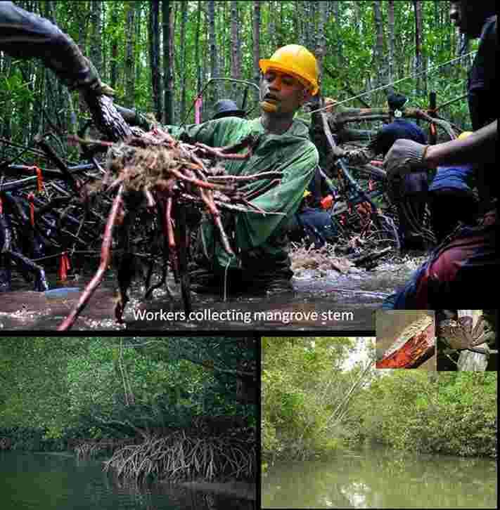 johor kong kong mangrove