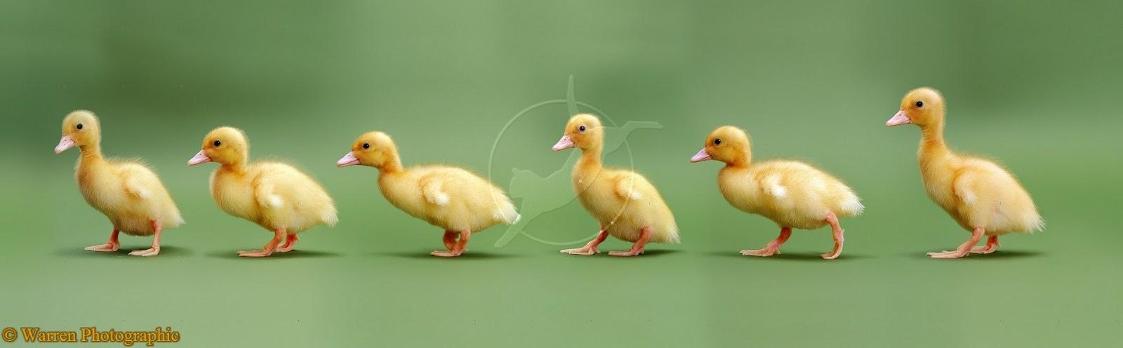 ducklings wallpapers free hd wallpapers