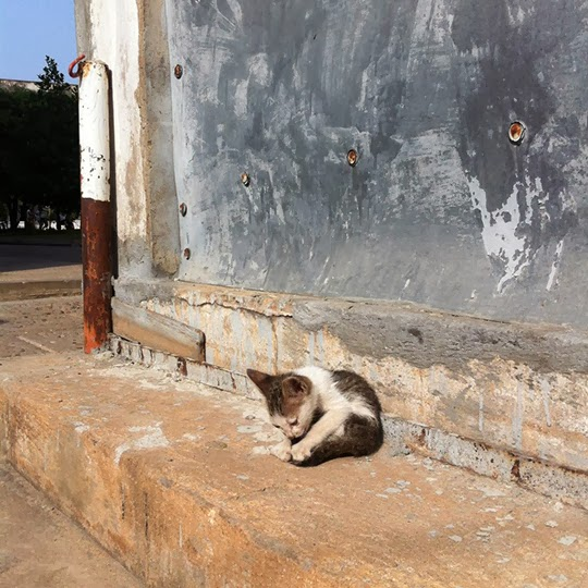 Cat of Phnom Penh Cambodia