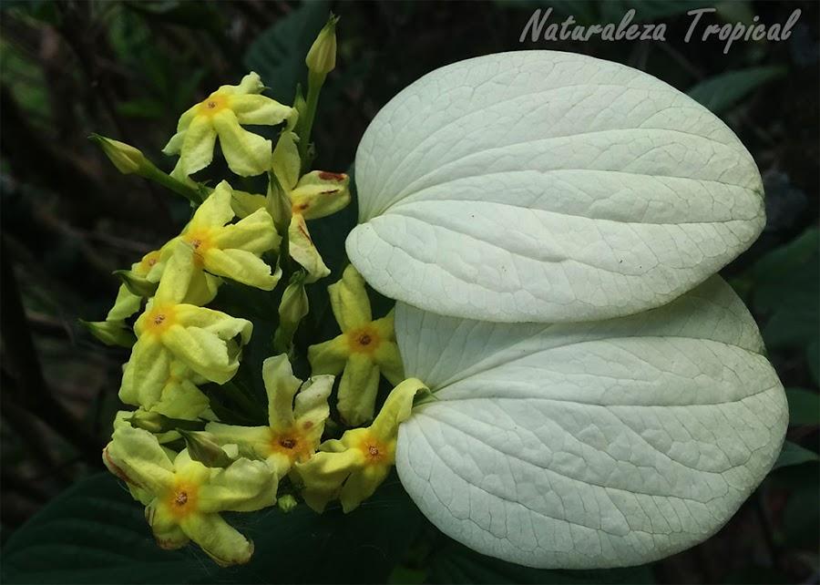Flores y brácteas de una planta del género Mussaenda